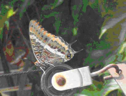 Farfalla del corbezzolo
